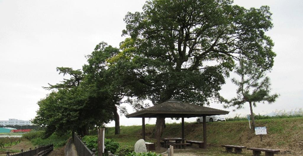 亀裂の入った大木の伐採
